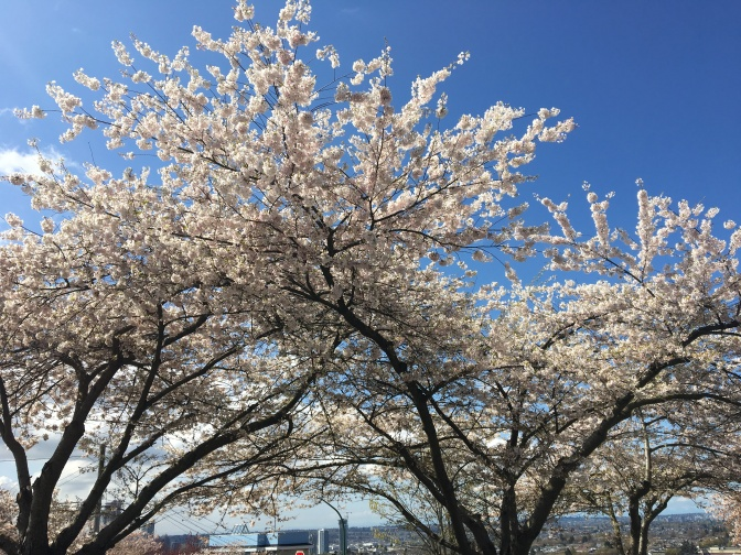 Cherry Blossoms in Sunshine